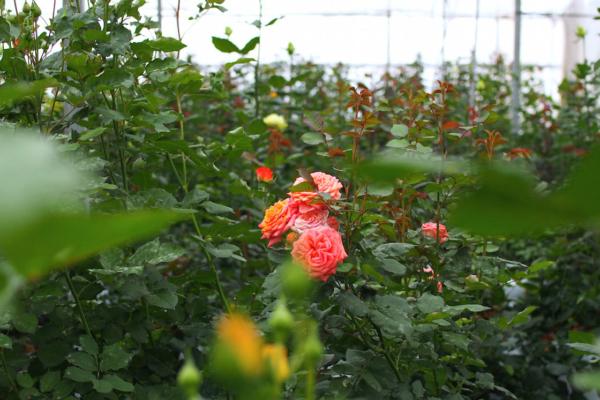 バラのハウス内。取材に伺ったのは3月でまだ株は小さめ。5月の最盛期に向けてしっかり葉っぱを育てている最中だそう。
