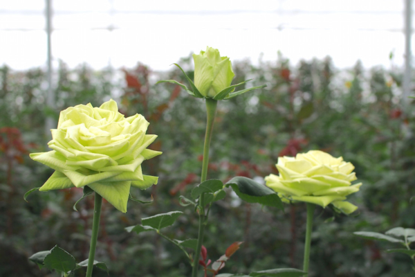 昔は真紅のバラも流行ったものですが、最近はナチュラルな薄緑色のバラも人気。