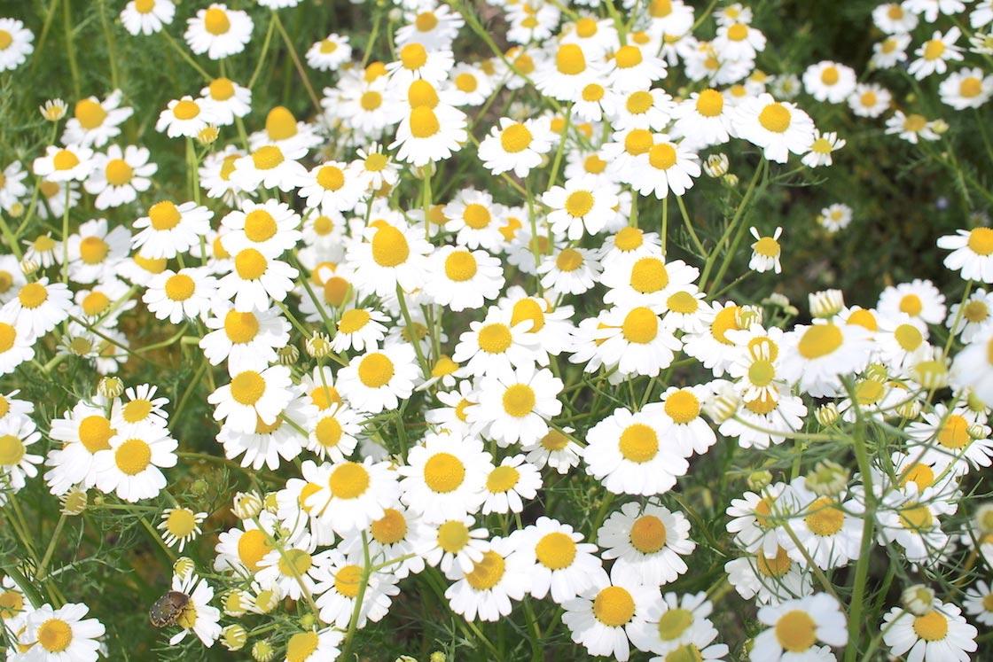 日本ではカモミールティーが身近ですが、ヨーロッパでは薬草としても有名です
