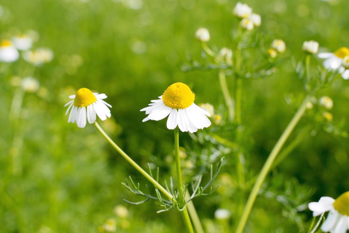 カモミールの花びらが下を向いたら収穫の合図