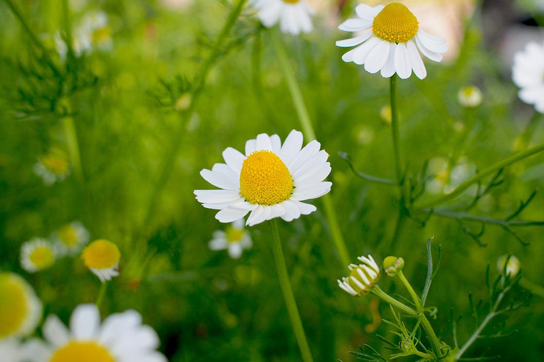 薬効の高い「ジャーマンカモミール」という品種。黄色い花芯が盛り上がっているのが特徴