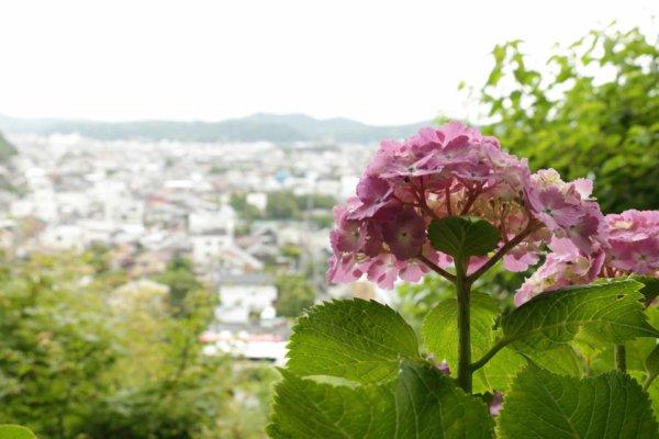 紫陽花が咲く、鎌倉の長谷寺