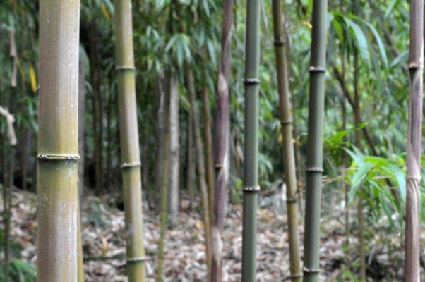 茎が円形ではなく四角形をしている、四方竹 (しほうちく) の林。西明寺のある高館山周辺は暖かい気候で、県内の他の地域では見られない植物が数多く生育しています