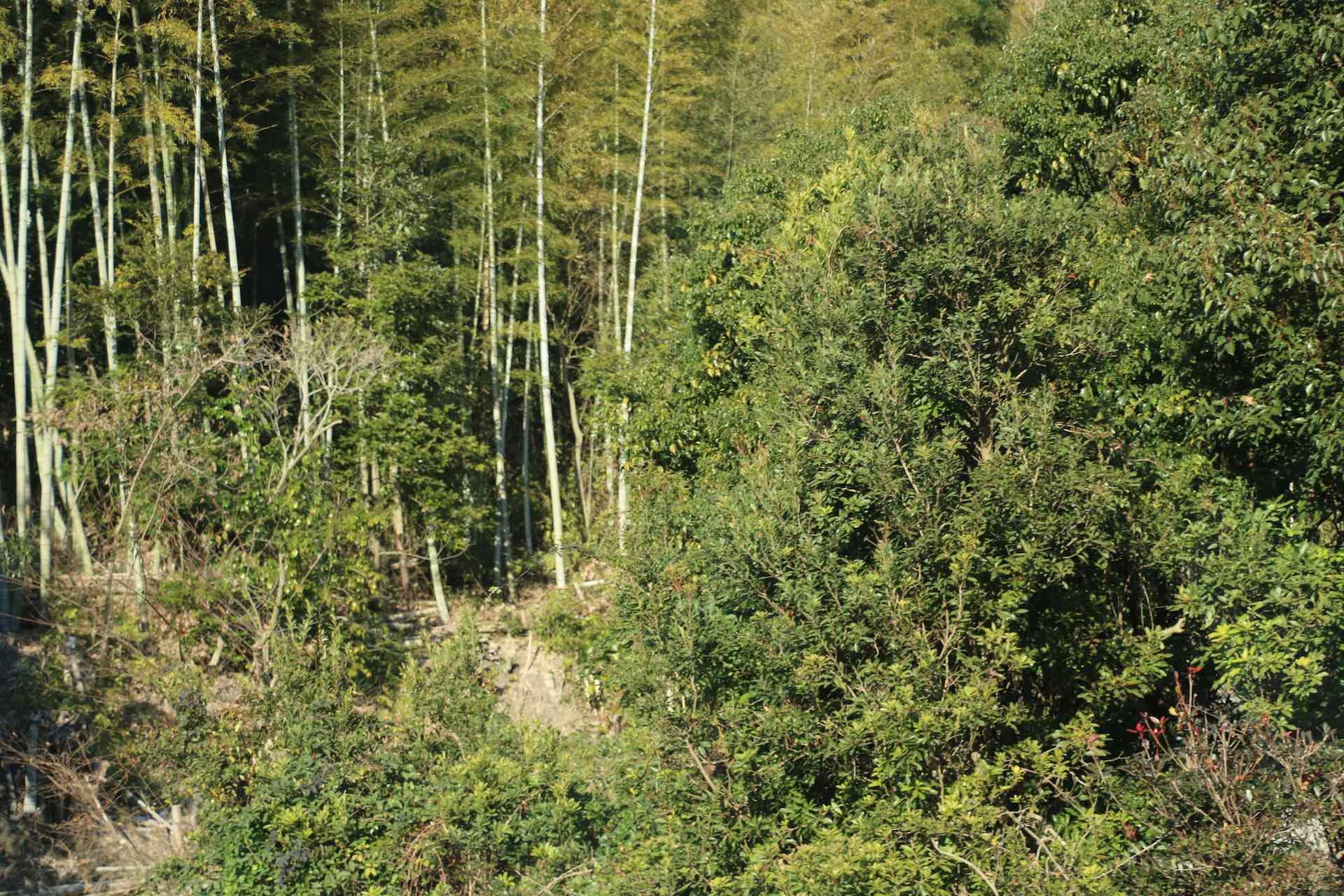 目が慣れてくると、生えているのが竹であるのが段々わかってきます