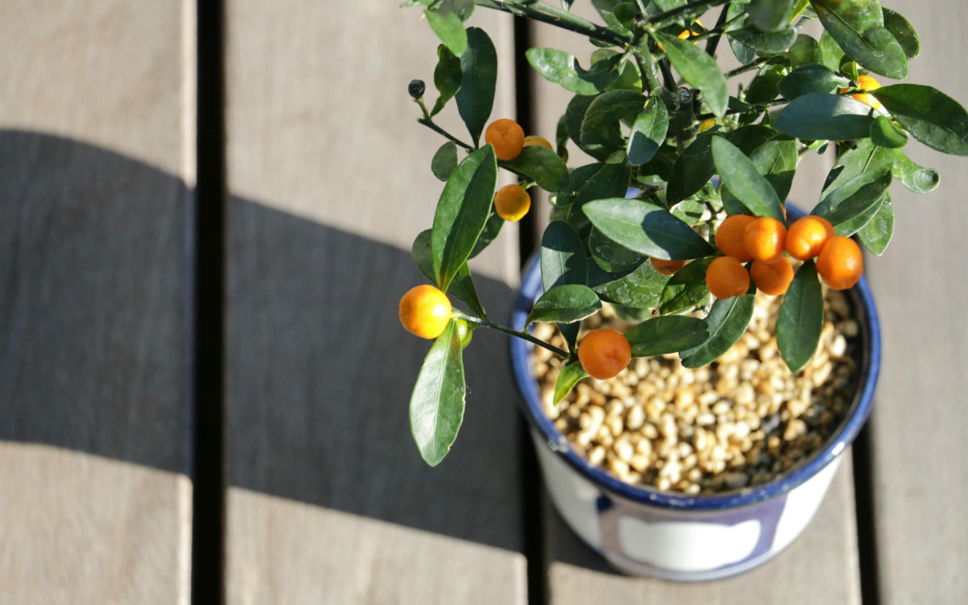 黄金色に輝いて見える?完熟した金豆の実。ちなみに食べられません