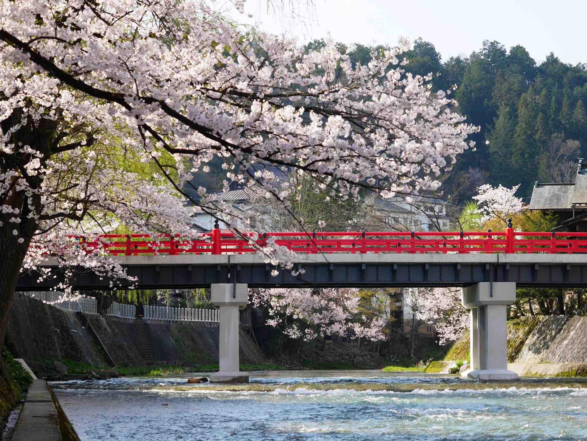 桜が満開の中橋