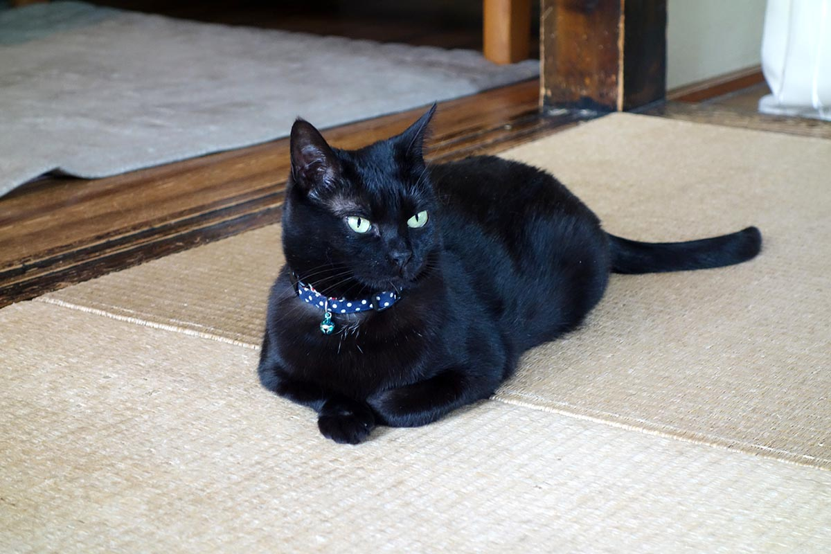 青い首輪をつけた黒猫
