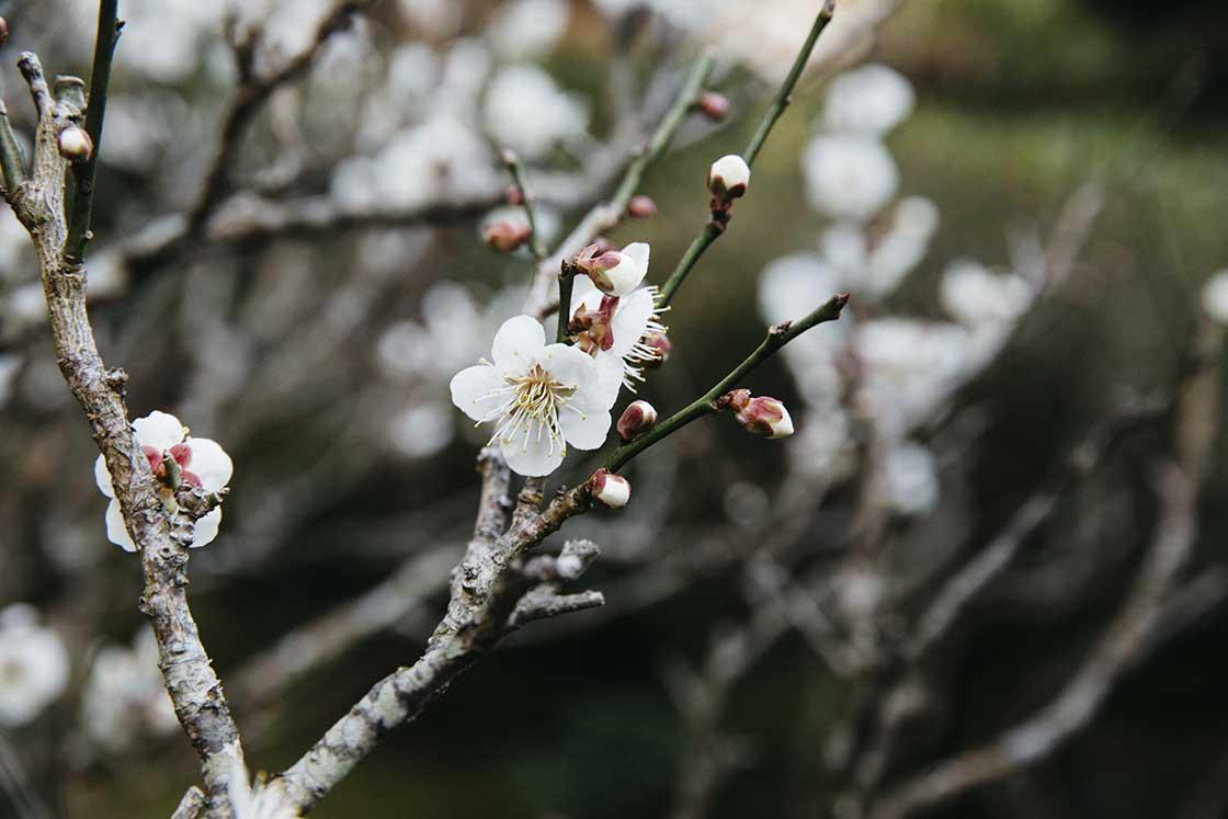 庭園長崎県川棚町の私邸にある日本に咲く桜の花