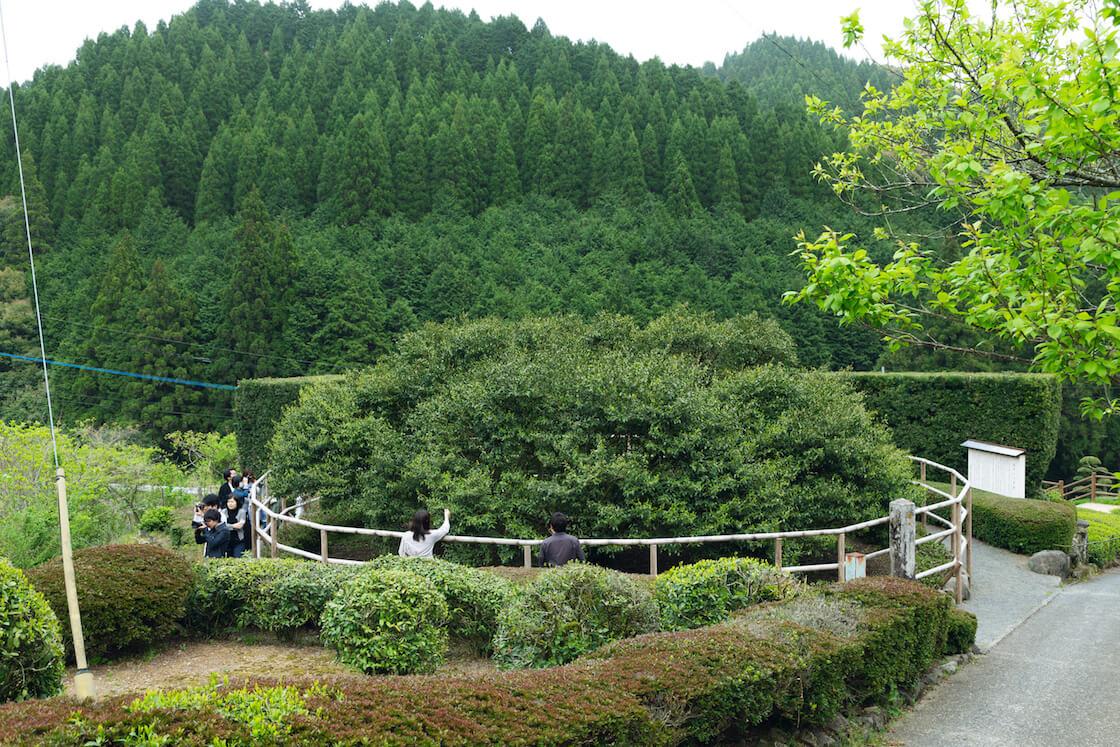 嬉野 大茶樹