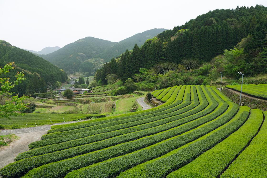 嬉野茶の茶畑