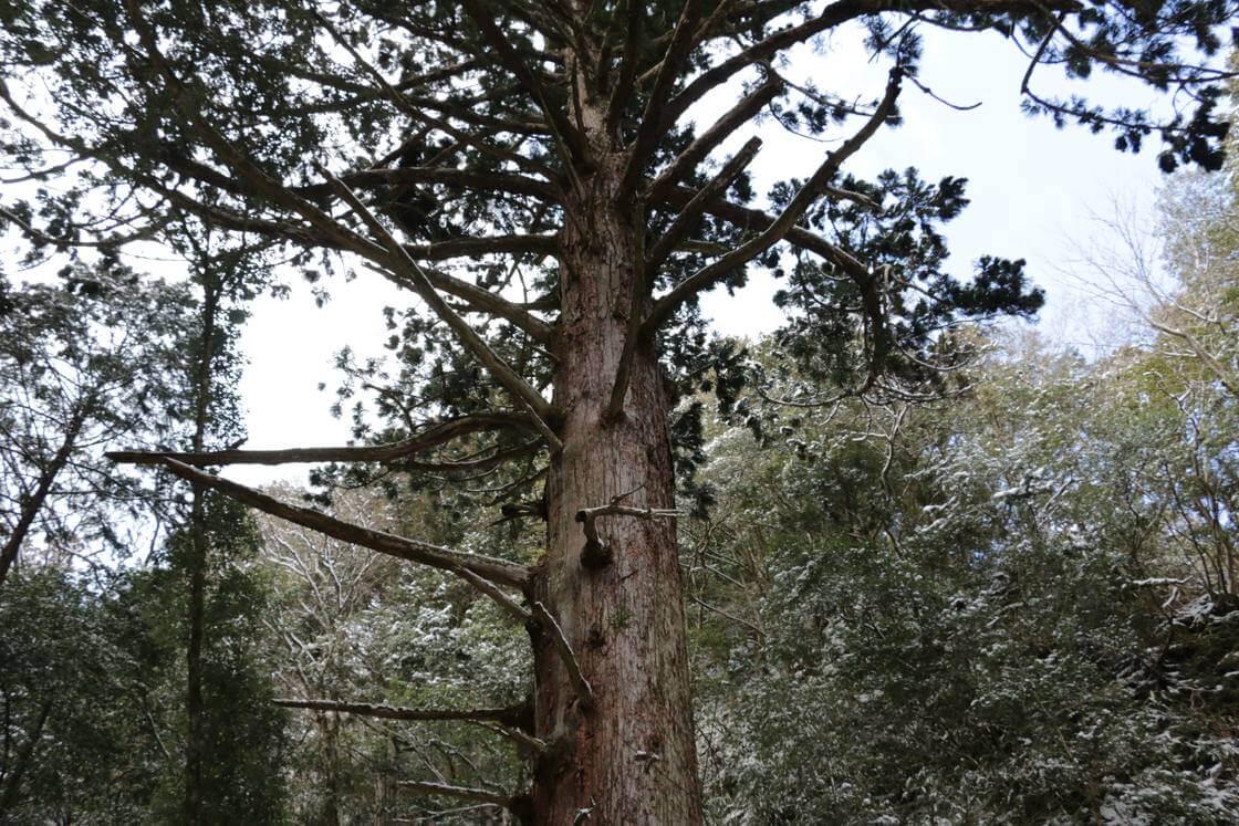 滝の傍にそびえ立つ伝説の杉