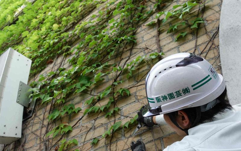 阪神園芸による甲子園球場のツタの壁管理
