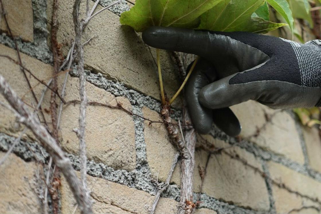 ボコボコと凹凸している茎の先端部分。実は表面が吸盤状になっており、少しの助けさえあれば、成長しながら自然と壁にくっついていくという