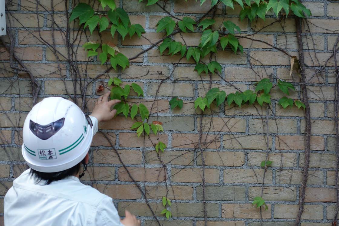 甲子園球場のツタの壁を手入れする、阪神園芸の松本さん