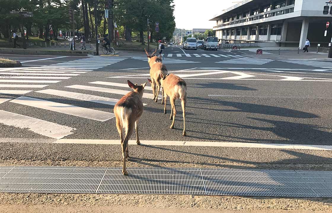 横断歩道を渡っている鹿