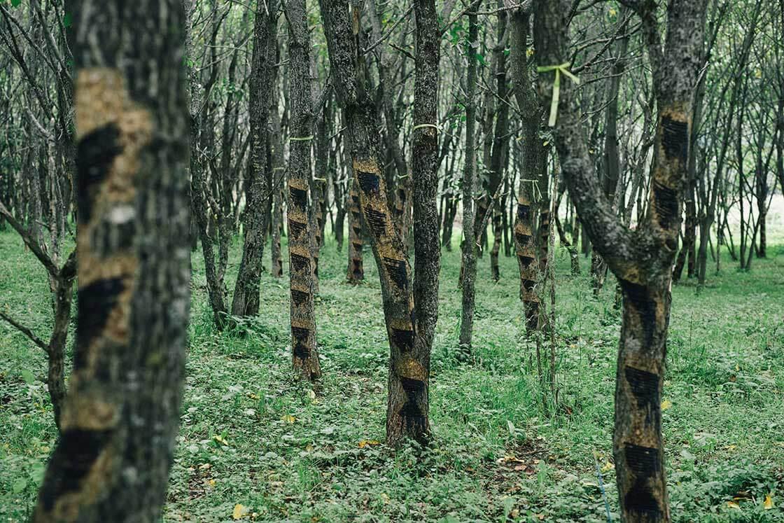 木々には、漆を掻いた跡が見られる