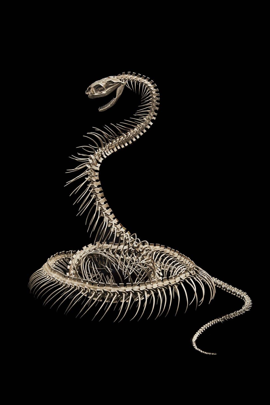 自在蛇骨格 [自在]満田晴穂