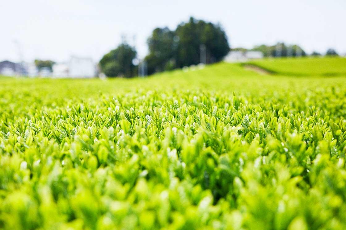 静岡・牧之原の茶畑