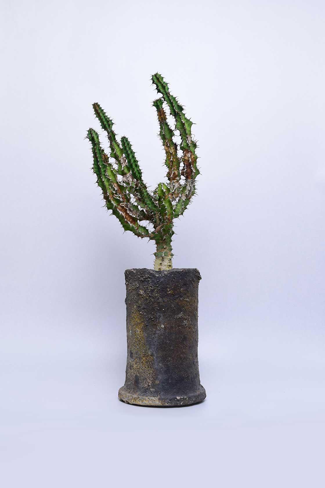 白日の古物に植栽された「クレベリー」(税抜35,000円)