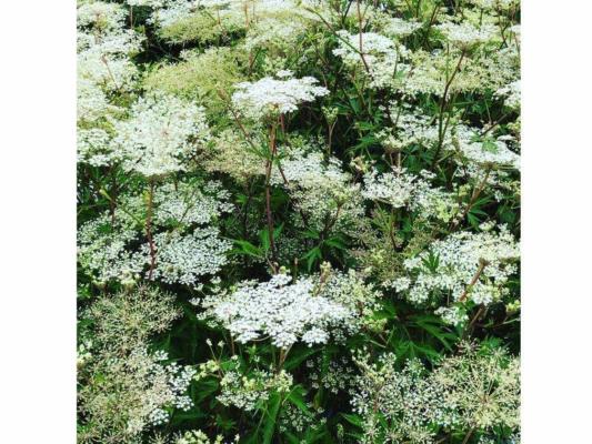白く美しい花を咲かせる大和当帰 (読み方) の花。生薬に長らく使われて来た一種です