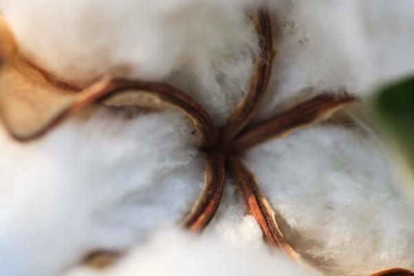 剪定と雑草取りもすべて手作業。大切に育てられている自然栽培綿
